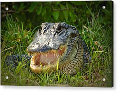Smiling Alligator Acrylic Print by Rich Leighton