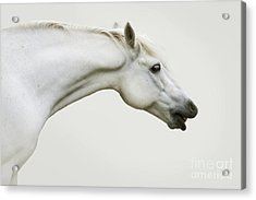 Smiling Grey Pony Acrylic Print by Ethiriel  Photography