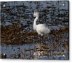 Snowy Egret . Solitude . 7d11963 Acrylic Print by Wingsdomain Art and Photography