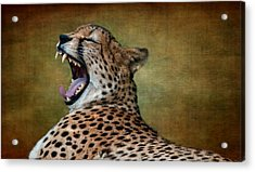 So Tired Acrylic Print by Heather Thorning