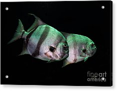 Something Fishy This Way Comes Acrylic Print by Lois Bryan