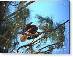Southern Bald Eagle Acrylic Print by Randy Matthews