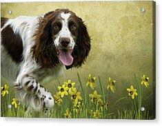 Spaniel With Daffodils Acrylic Print by Ethiriel  Photography