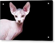 Sphynx Kitten Sweet Cute Hairless Pet Cat Acrylic Print by Alper Tunc