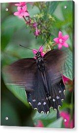 Spicebush Swallowtail Acrylic Print by Joann Vitali