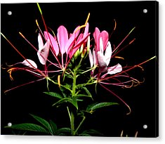 Spider Flower  Acrylic Print by Kim Galluzzo Wozniak