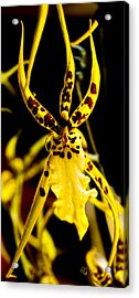 Spider Orchid Acrylic Print by Barbara Middleton