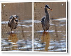 Spin And Fluff Dry Heron - C3219d Acrylic Print by Paul Lyndon Phillips