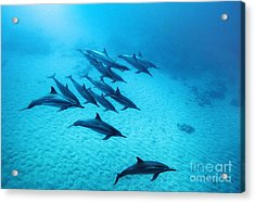 Spinner Dolphins Blue Acrylic Print by Monica and Michael Sweet