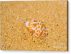 Spotted Babylon Shell Acrylic Print by Cheryl Young