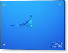 Spotted Eagle Ray Acrylic Print by Sami Sarkis