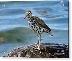 Spotted Sand Piper 6 Acrylic Print by Andrea Kollo