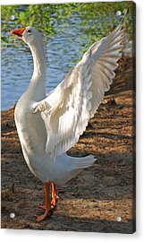 Spread Your Wings Acrylic Print by Lisa Phillips