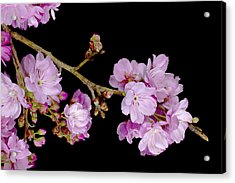 Spring Cherry Blossoms 2 Acrylic Print by Barnaby Chambers