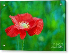 Spring Poppy Acrylic Print by Darren Fisher