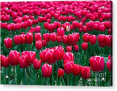 Spring Tulips Acrylic Print by David R Frazier and Photo Researchers