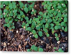 St. Johns Wort Acrylic Print by Science Source