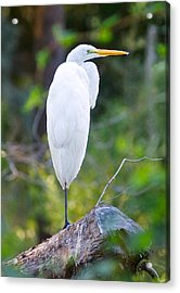 Standing Egret Acrylic Print by Scott Hansen