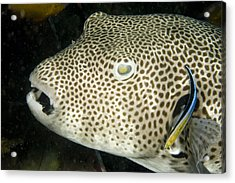 Star Puffer Fish Being Cleaned Acrylic Print by Tim Laman