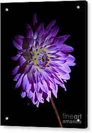 Starlight Star Bright Acrylic Print by Inspired Nature Photography Fine Art Photography