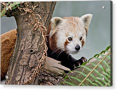 Stealthy Red Panda Acrylic Print by Greg Nyquist