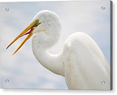 Sticking Out His Tongue Acrylic Print by Paulette Thomas
