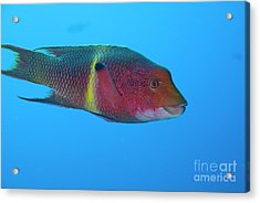 Streamer Hogfish Or Mexican Hogfish Acrylic Print by Sami Sarkis