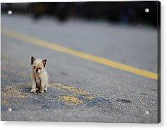 Street Kitten On Road Acrylic Print by Carlina Teteris