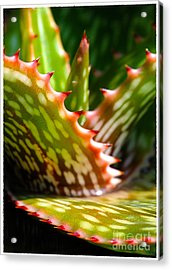 Succulents With Spines Acrylic Print by Judi Bagwell