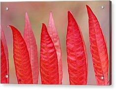 Sumac Leaves Rhus Coriaria In Fall Acrylic Print by Mike Grandmailson