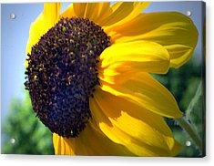 Sun Flower Acrylic Print by Cheryl Cencich