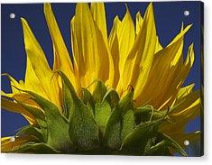 Sunflower Acrylic Print by Garry Gay