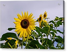 Sunflower In The Setting Sun Acrylic Print by Richard Bramante