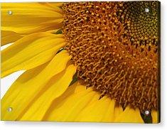 Sunflower Acrylic Print by Joan Powell
