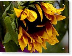 Sunflower Acrylic Print by Jonathan Schreiber