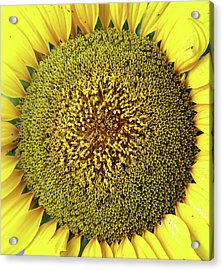 Sunflower Acrylic Print by Nenov