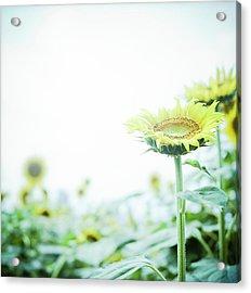 Sunflower Acrylic Print by Yoshika Sakai