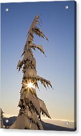 Sunlight Through Snow-covered Tree Acrylic Print by Craig Tuttle