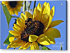 Sunshine Visitor Acrylic Print by Louise Peardon