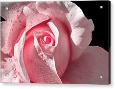 Supple Pink Rose Dipped In Dew Acrylic Print by Tracie Kaska