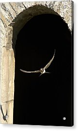 Swallow In Flight Acrylic Print by John Short