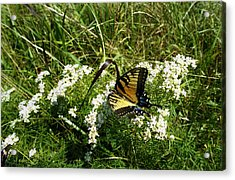 Swallow Tail  Acrylic Print by Skip Willits