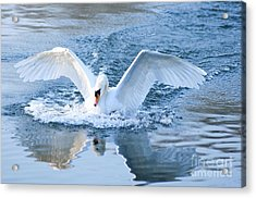 Swan Landing Acrylic Print by Andrew  Michael