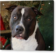 Sweet Little Pitty Acrylic Print by Larry Marshall