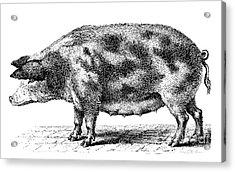 Swine Acrylic Print by Granger