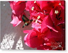 Taking The Nectar Acrylic Print by John Chatterley