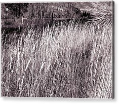 Tall Grasses Acrylic Print by Will Borden