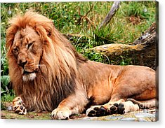 The Ancient Lion Acrylic Print by Wingsdomain Art and Photography