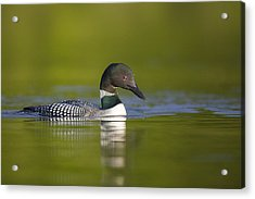 The Beauty Of A Common Loon Acrylic Print by Tim Grams
