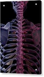 The Bones Of The Upper Body Acrylic Print by MedicalRF.com